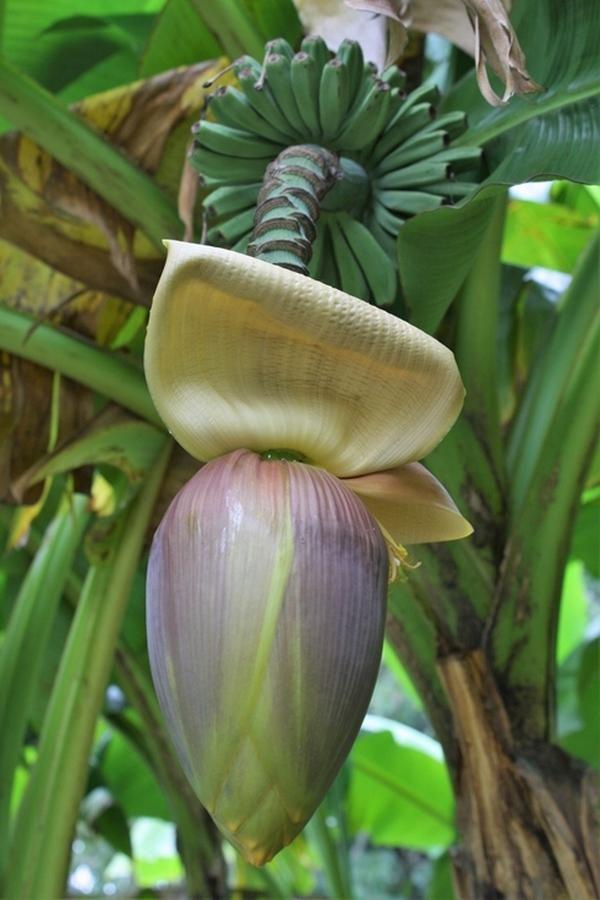 Musa Basjoo Cold Hardy Banana Plant