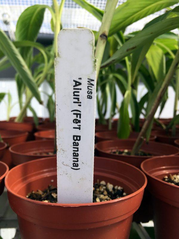 Fe'i Aiuri Banana Plant