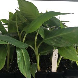Dwarf Green Banana