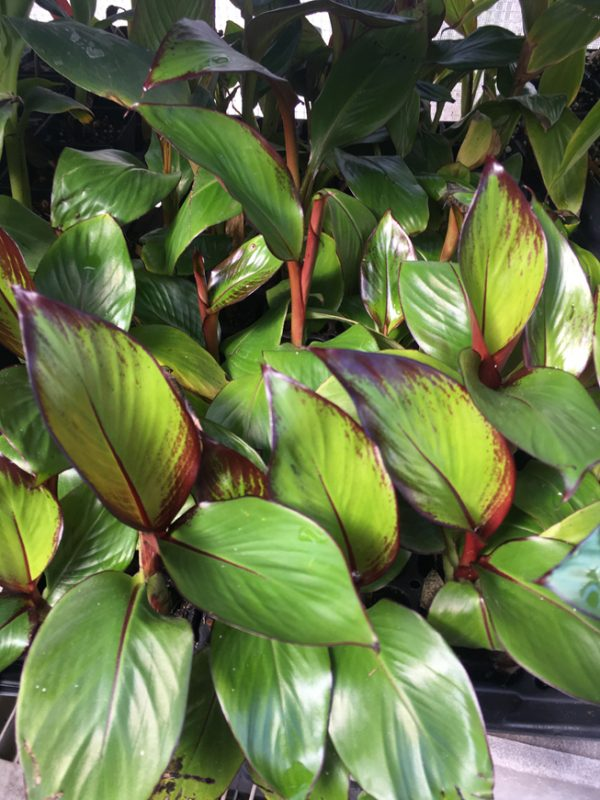Ensete Maurelii - Red Abyssinian Banana
