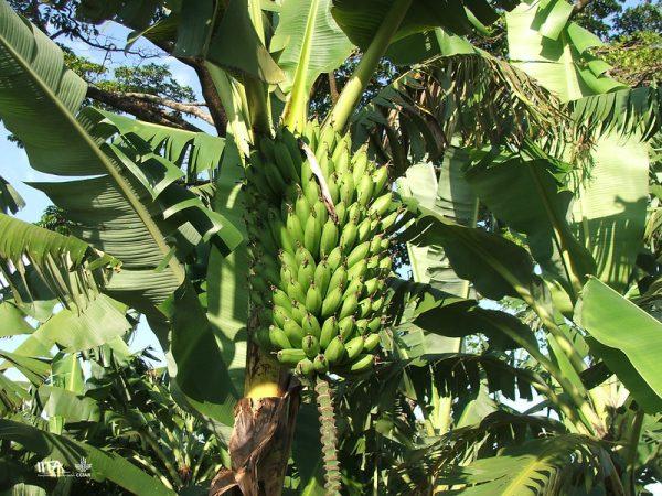 Matoke- Matooke-East African Highland bananas