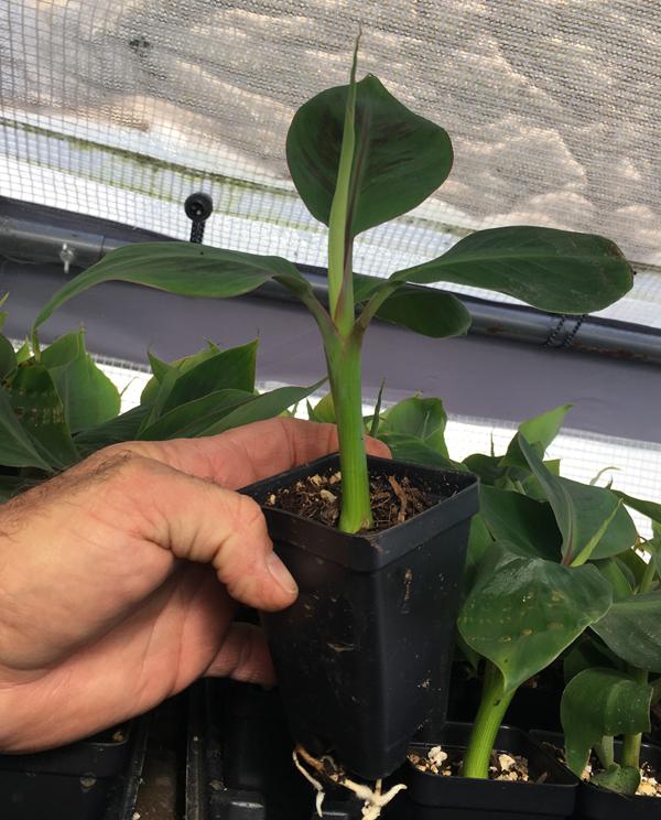 Manzano Apple Banana Plant