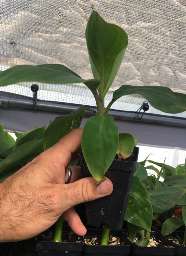 Manzano Apple Banana Plant